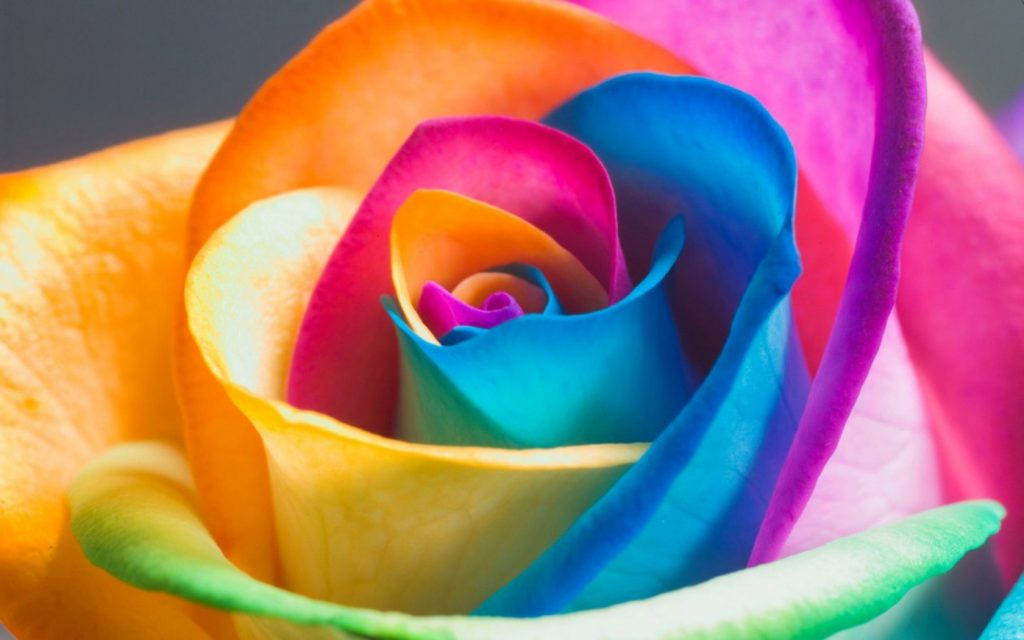 Colorful Rose Beautiful Flower