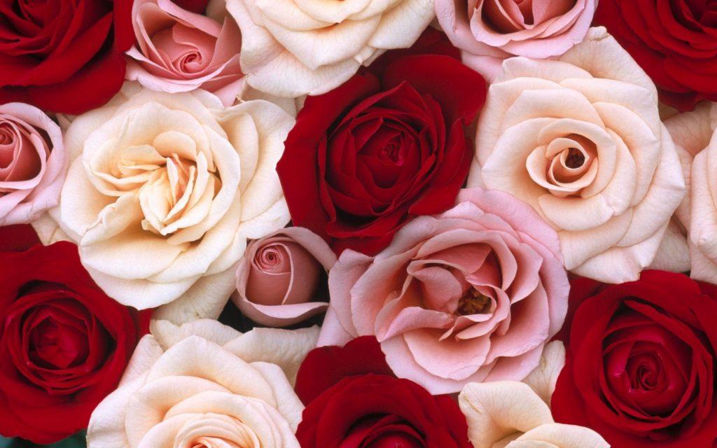 Rose Wallpapers 1