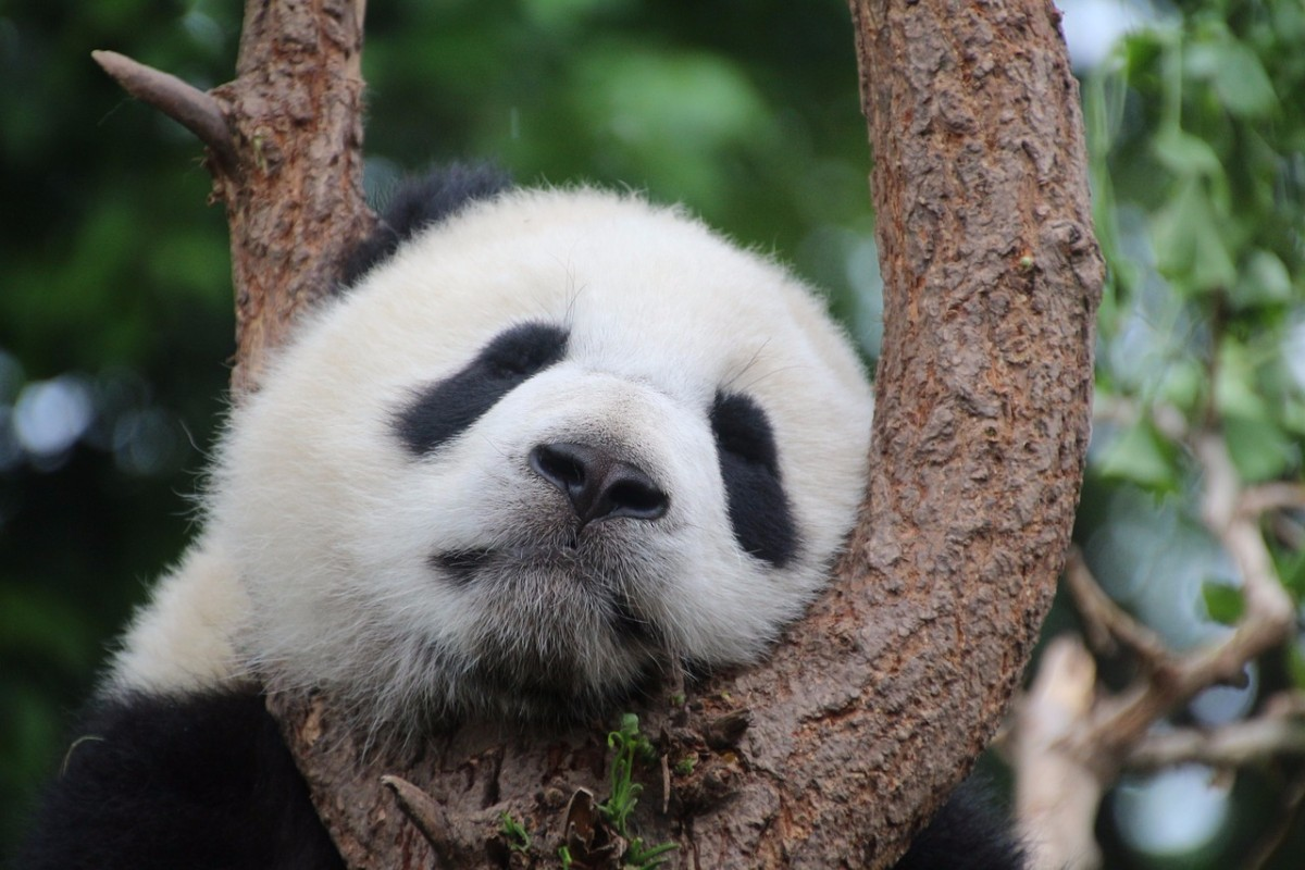 28 High Quality Free Cute Panda Wallpapers HD Images