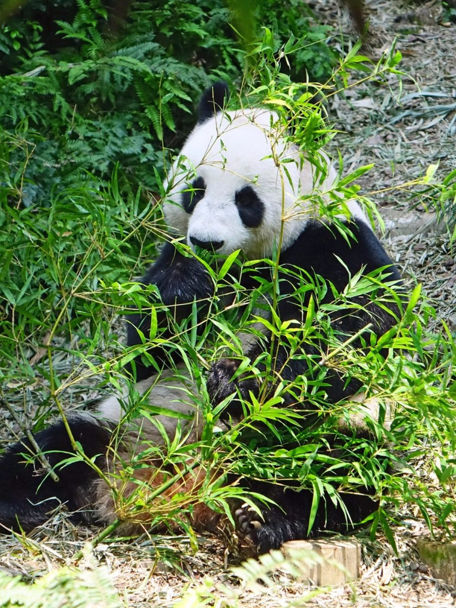 A Big Panda