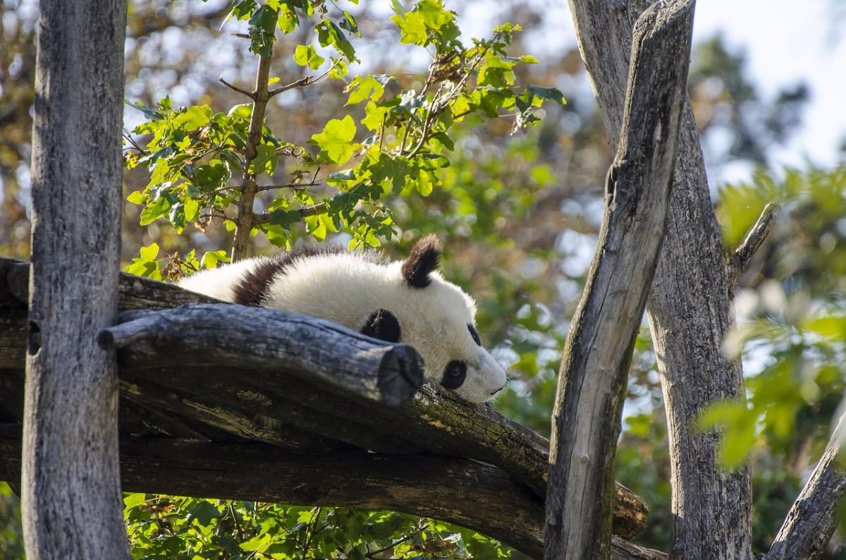 Panda Sleep