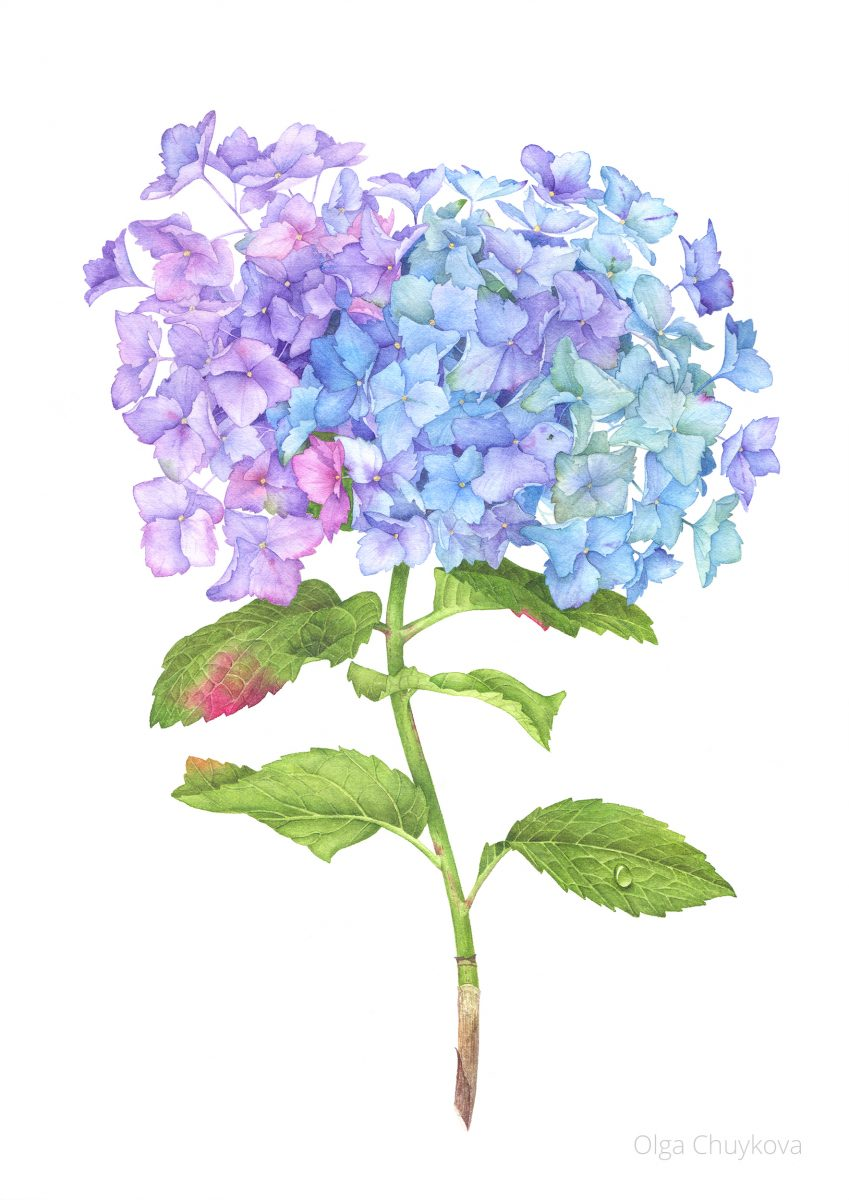 Hydrangea Flower with watercolor